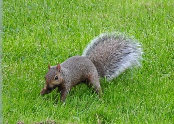 squirrel001_v1